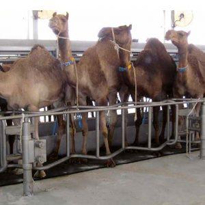 deve ahır zeminleri